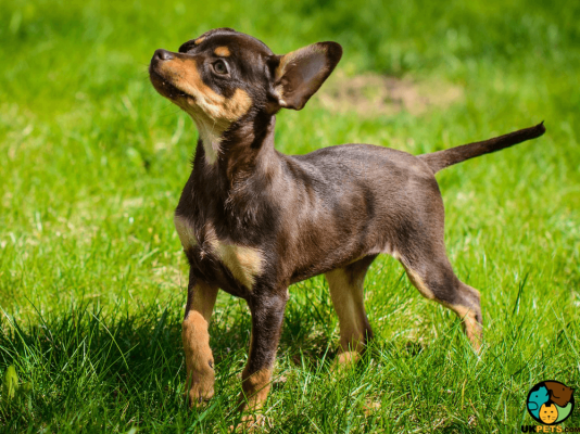 Russian Toy Terrier Puppy