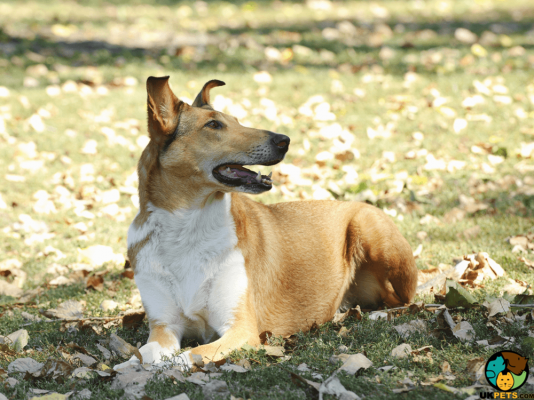 Smooth Collie in Great Britain