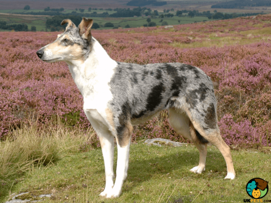 Smooth Collie in the UK