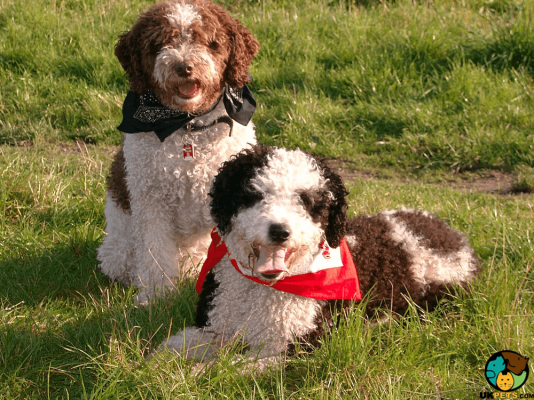 Spanish Water Dog Puppies