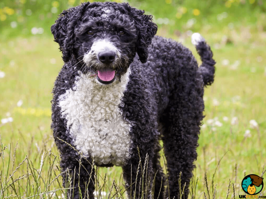 Spanish Water Dog in the UK
