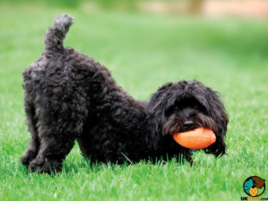 Schnoodle in the UK