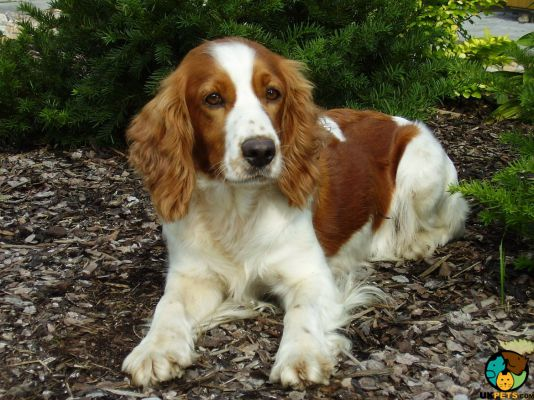 Welsh Springer Spaniel Dog Breed Information | UK Pets