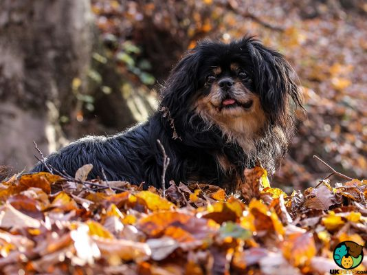 Tibetan Spaniels in the UK