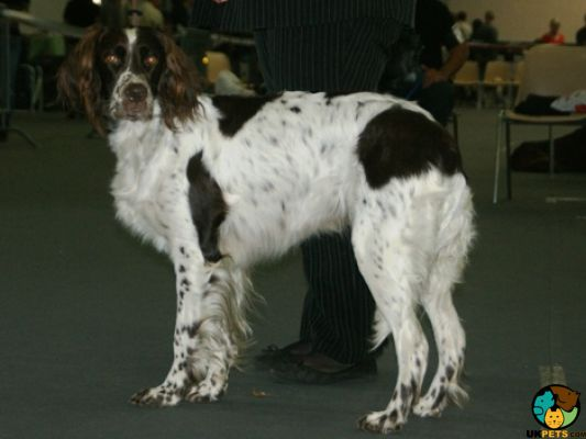 French Spaniel Dogs