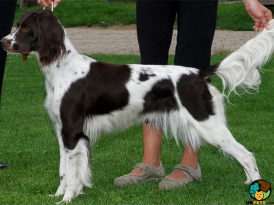 French Spaniel in the UK