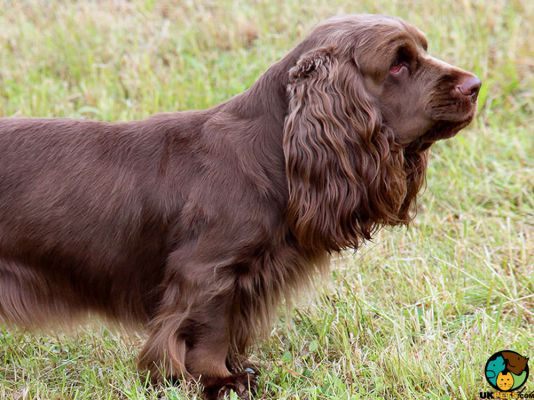 Sussex Spaniels in Great Britain