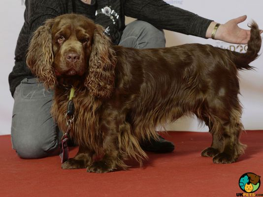 Sussex Spaniel Dogs
