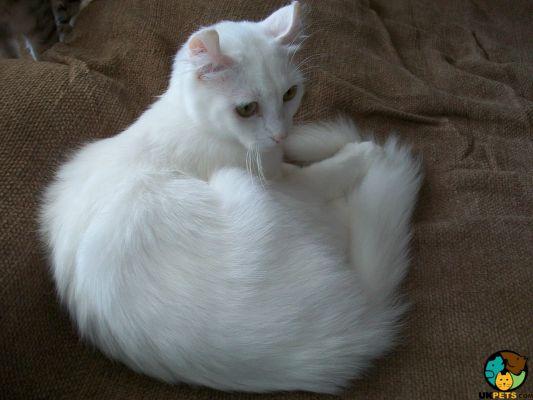 Arctic Curl Cat