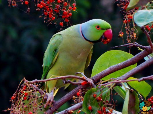Alexandrine Parrot in Great Britain