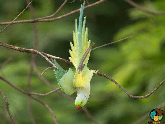 Alexandrine Parrot Pets in Great Britain
