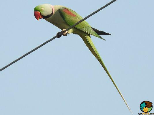 Alexandrine Parrot Pets in the UK