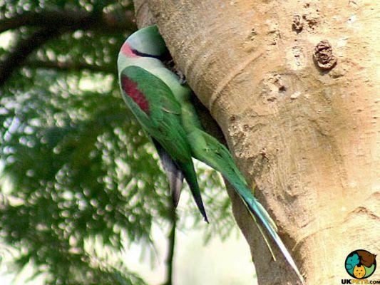 Alexandrine Parrot Pet in the UK