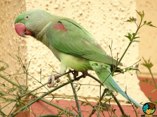 Alexandrine Parrots in the UK