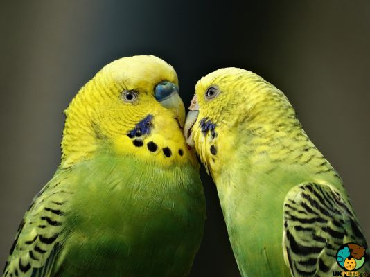 Budgerigars in Great Britain