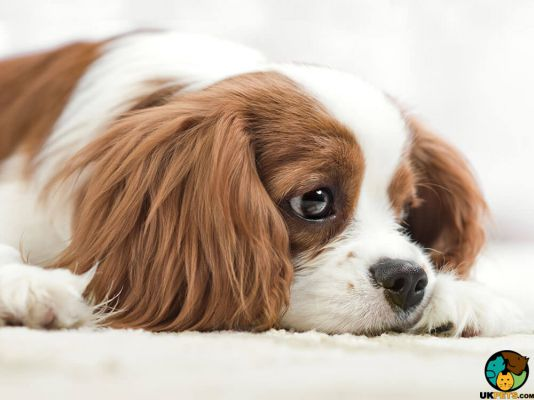 King Charles Spaniels in the UK