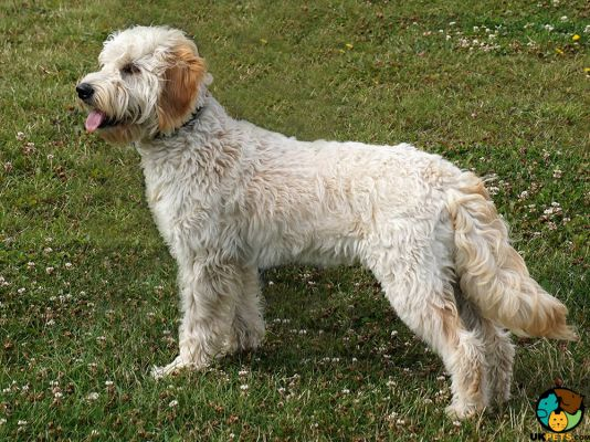 Goldendoodle in Great Britain