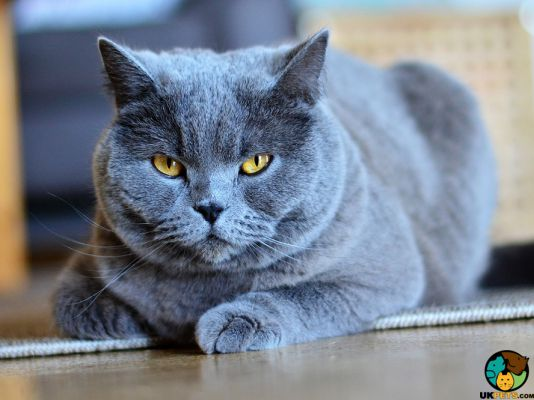 Chartreux in the UK