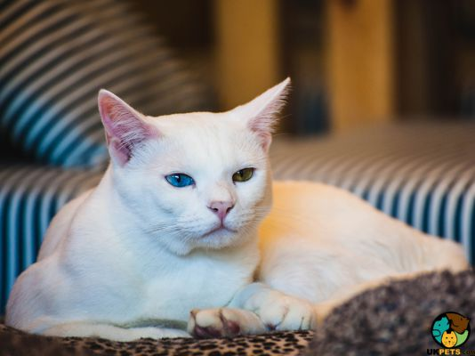 Khao Manee Kittens