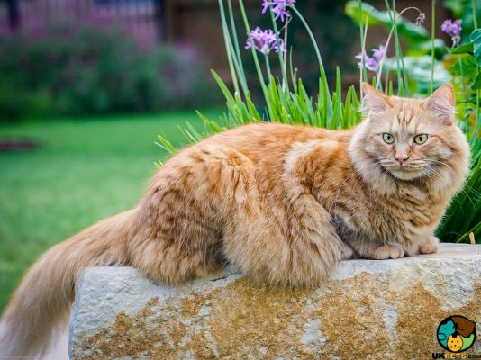 Maine Coon in Great Britain