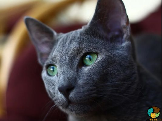 Russian Blue in the UK