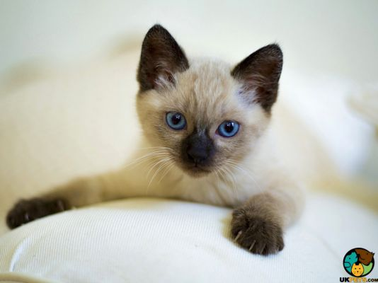 Siamese in Great Britain