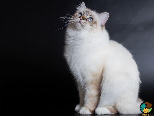 Tibetan Kitten