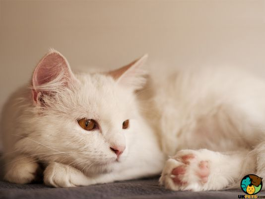 Turkish Angora Kittens