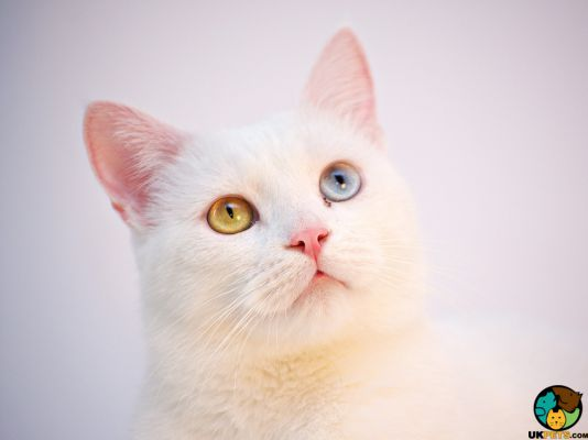 Turkish Angora in Great Britain