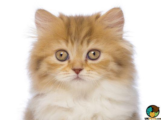 British Longhair Kittens