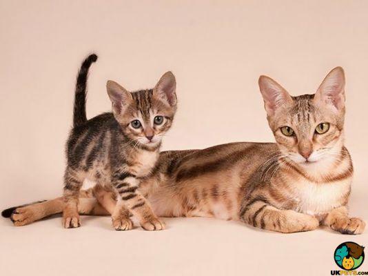 Sokoke Cats
