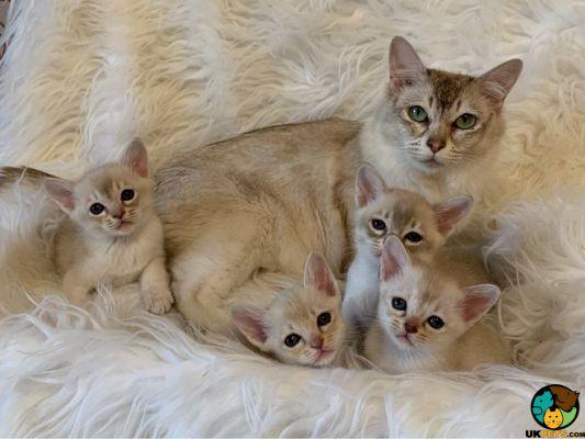 Asian Cat