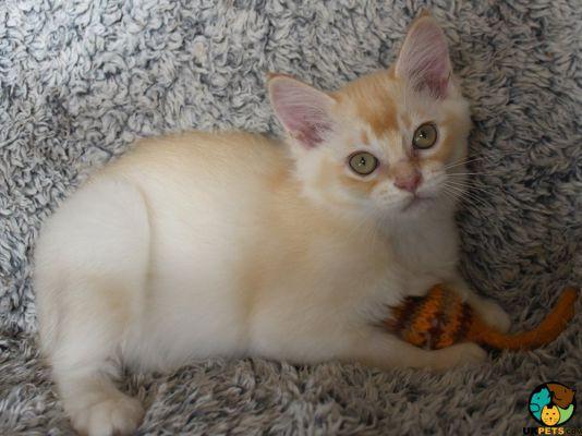 Asian Kitten