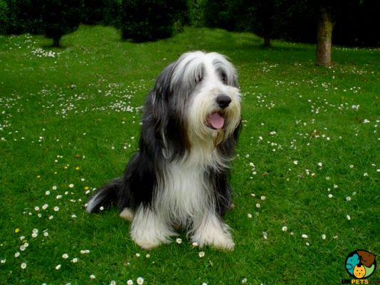 Bearded Collies in Great Britain