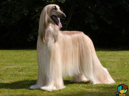 Afghan Hound in the UK