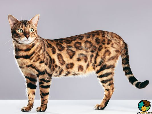Bengal in the UK