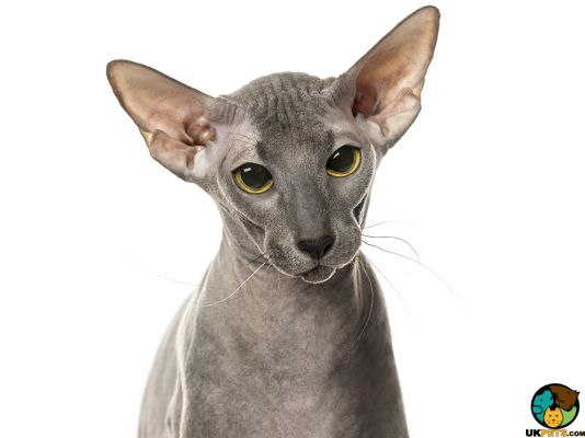 Peterbald in Great Britain