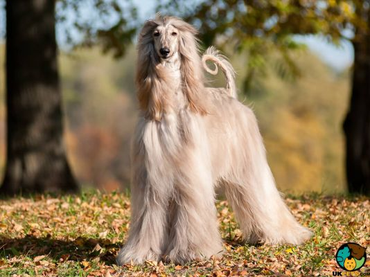 Afghan Hounds in Great Britain