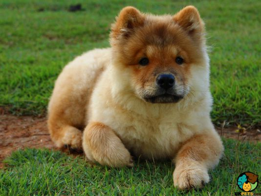 Chow Chows in Great Britain