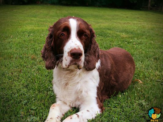 English Springer Spaniels in Great Britain