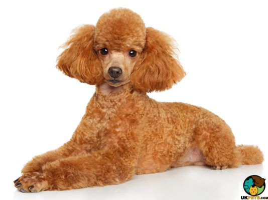 Miniature Poodles in the UK