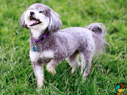 Schnoodle Puppy