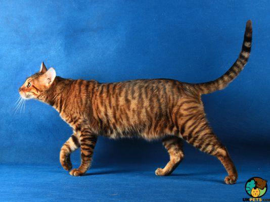 Toyger in the UK