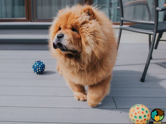 Chow Chows in the UK