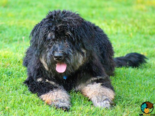 Bernedoodle in the UK