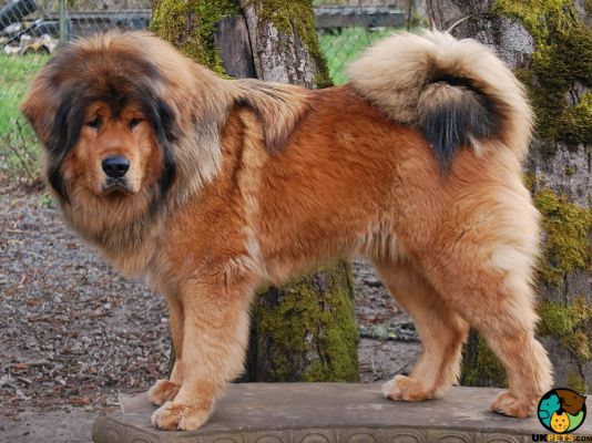 Tibetan Mastiff Dogs And Puppies For
