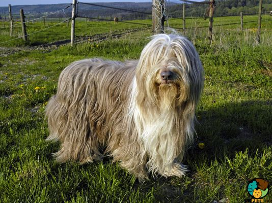 Bearded Collie in Great Britain