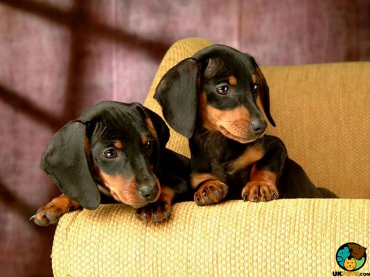 Miniature Dachshund in the UK