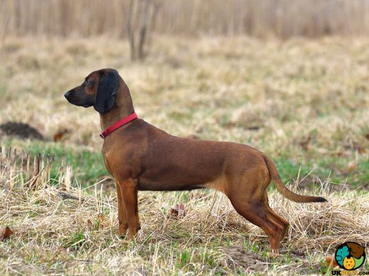 Bavarian Mountain Hounds in Great Britain