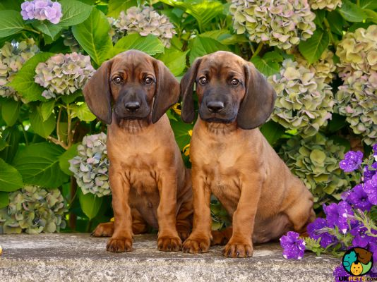 Bavarian Mountain Hounds in the UK